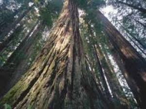 レッドウッド国立公園の画像 p1_40